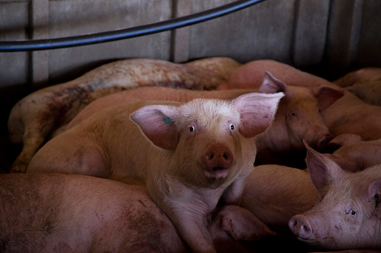 Cerdo superviviente en una granja cerca del Ebro / Tras los muros